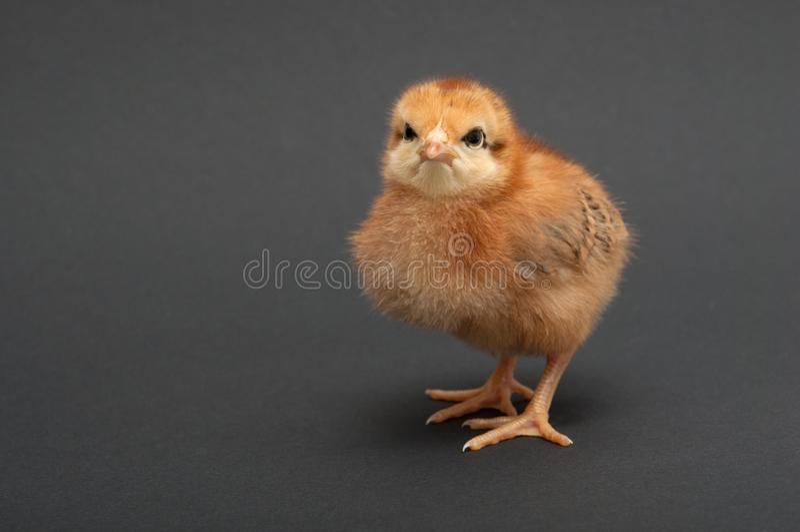 Θυμωμένο πουλί - γκόμενα απομονωμένο φόντο στοκ εικόνες