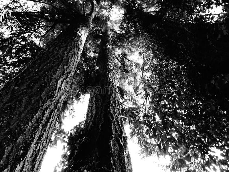 Θόλος δέντρων σε γραπτό στοκ εικόνα