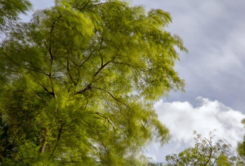 Θόλος ενός δέντρου ιτιών που φυσιέται από έναν ισχυρό άνεμο στοκ φωτογραφίες με δικαίωμα ελεύθερης χρήσης