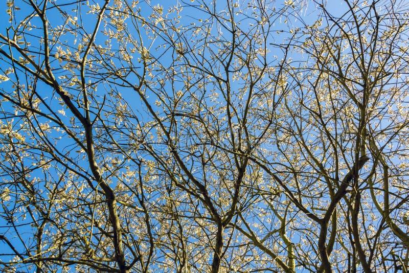 Θόλος του δέντρου ιτιών γατών με τα λουλούδια ενάντια στο μπλε ουρανό στοκ φωτογραφία με δικαίωμα ελεύθερης χρήσης