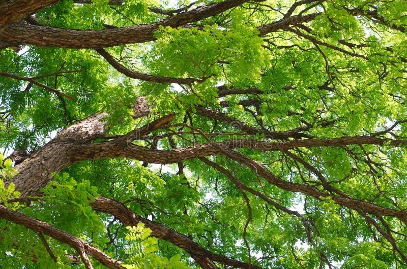 Θόλος του Κεντάκυ Coffeetree στοκ εικόνες