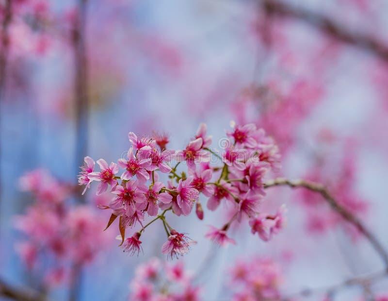 διάνυσμα βαλεντίνων αγάπης απεικόνισης ημέρας ζευγών Όμορφα ανθίζοντας ρόδινα λουλούδια στοκ εικόνες