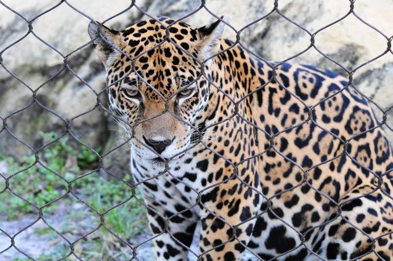 ιαγουάρος λυπημένος στοκ φωτογραφία με δικαίωμα ελεύθερης χρήσης