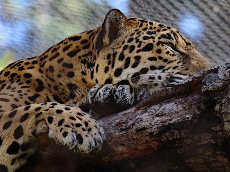 ιαγουάρος στοκ φωτογραφία