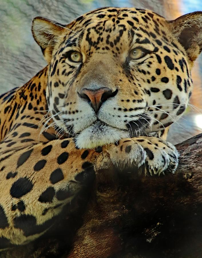 ιαγουάρος στοκ εικόνα με δικαίωμα ελεύθερης χρήσης