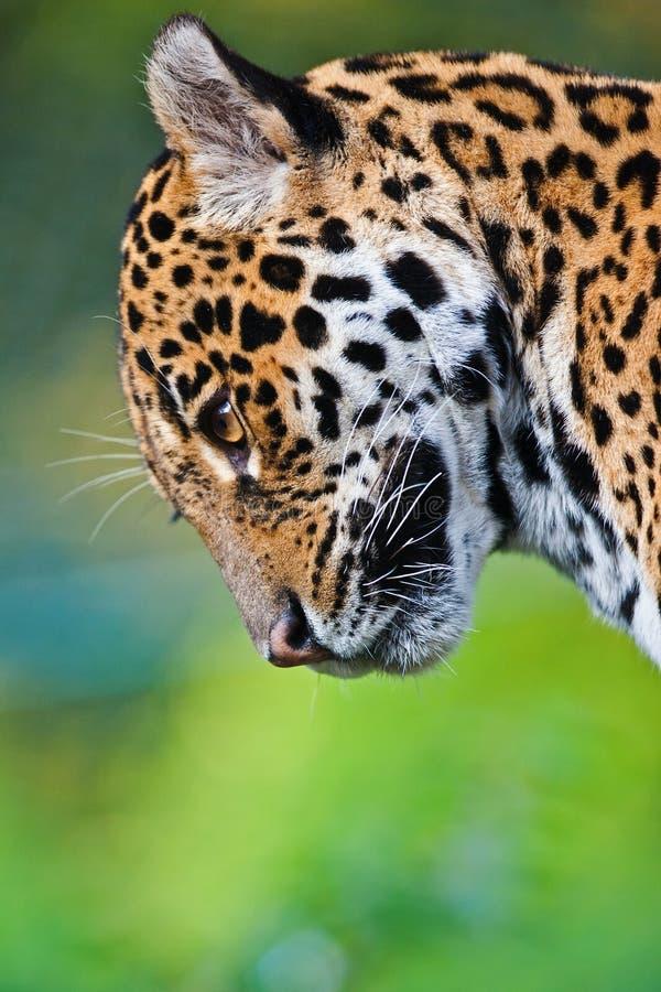 Ιαγουάρος στοκ εικόνες