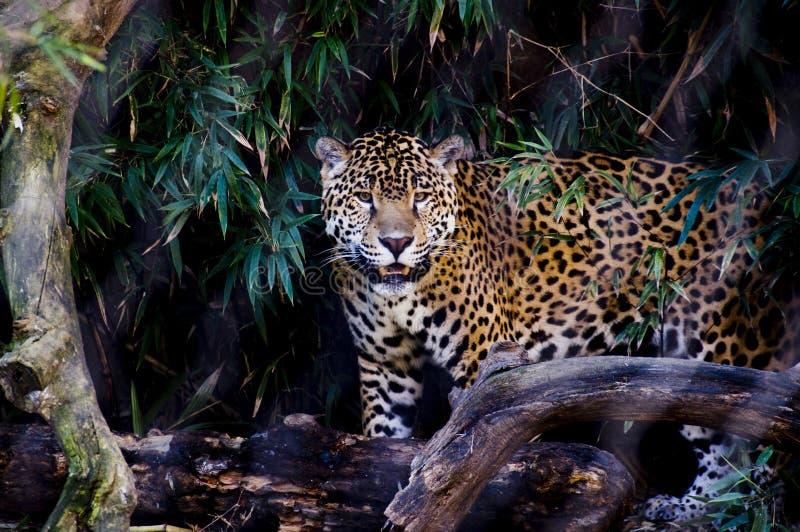 ιαγουάρος στοκ φωτογραφίες
