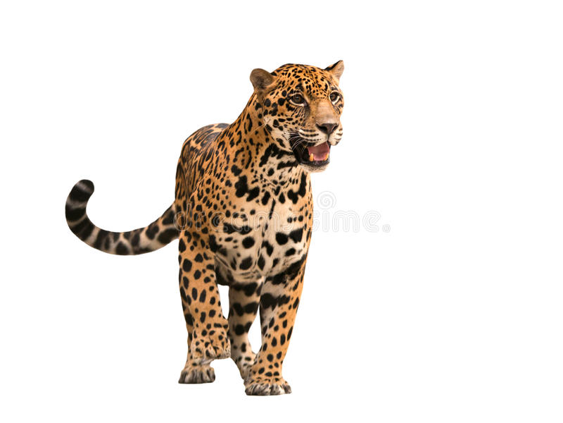 Ιαγουάρος (onca Panthera) που απομονώνεται στοκ εικόνες