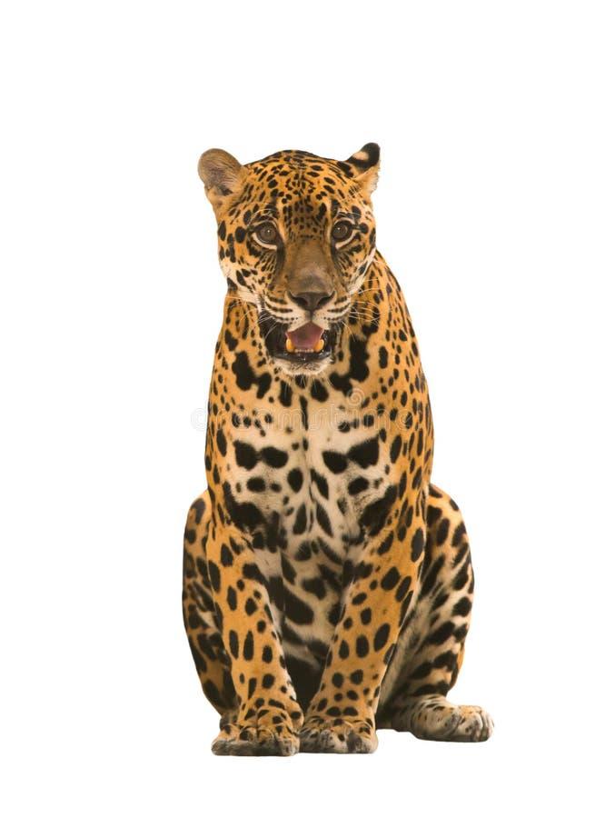 Ιαγουάρος (onca Panthera) που απομονώνεται στοκ φωτογραφία