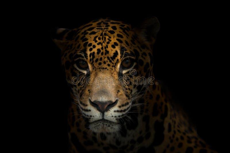 Ιαγουάρος (onca Panthera) στο σκοτάδι στοκ φωτογραφίες