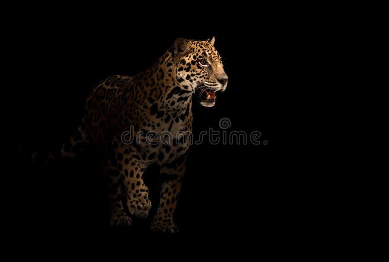 Ιαγουάρος (onca Panthera) στο σκοτάδι στοκ εικόνες