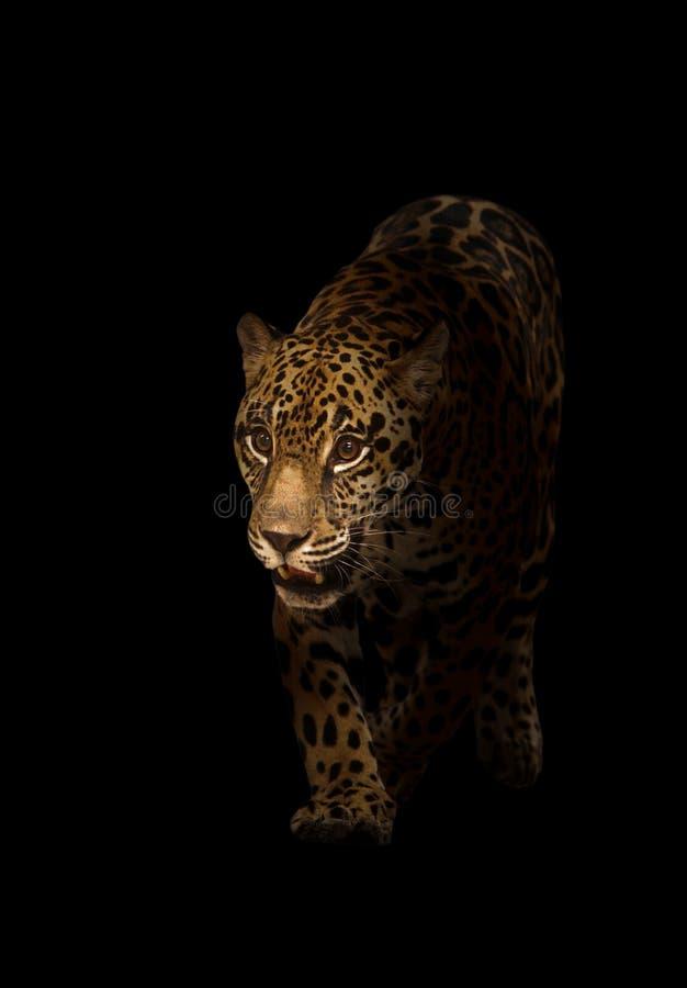 Ιαγουάρος (onca Panthera) στο σκοτάδι στοκ εικόνα