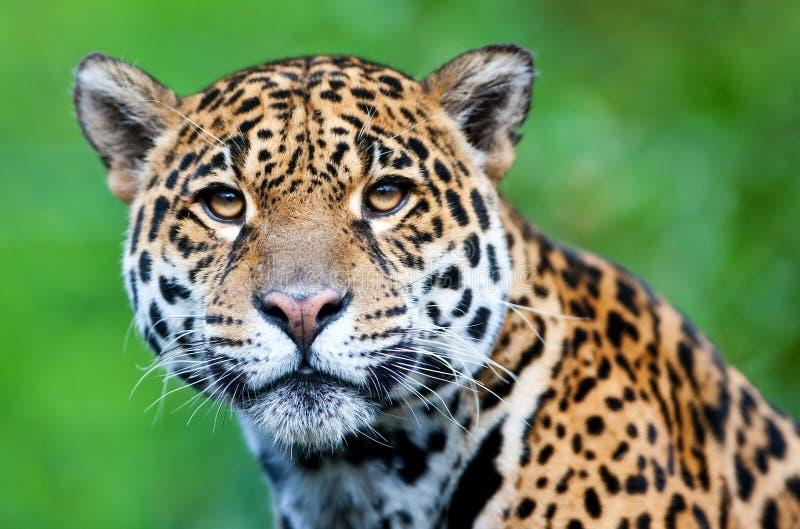 Ιαγουάρος - onca Panthera στοκ εικόνες με δικαίωμα ελεύθερης χρήσης