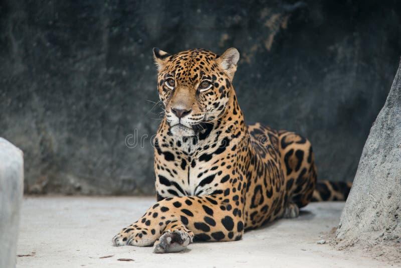 Ιαγουάρος (onca Panthera) στοκ εικόνες