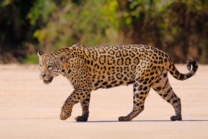 Ιαγουάρος, Panthera Onca, θηλυκό, ποταμός Cuiaba, Πόρτο Jofre, Pantanal Matogrossense, Mato Grosso do Sul, Βραζιλία στοκ φωτογραφία