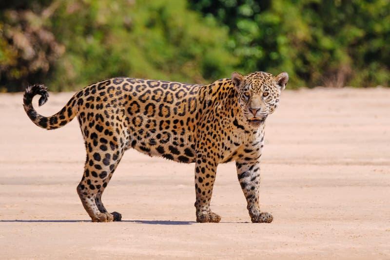 Ιαγουάρος, Panthera Onca, θηλυκό, ποταμός Cuiaba, Πόρτο Jofre, Pantanal Matogrossense, Mato Grosso do Sul, Βραζιλία στοκ φωτογραφίες με δικαίωμα ελεύθερης χρήσης