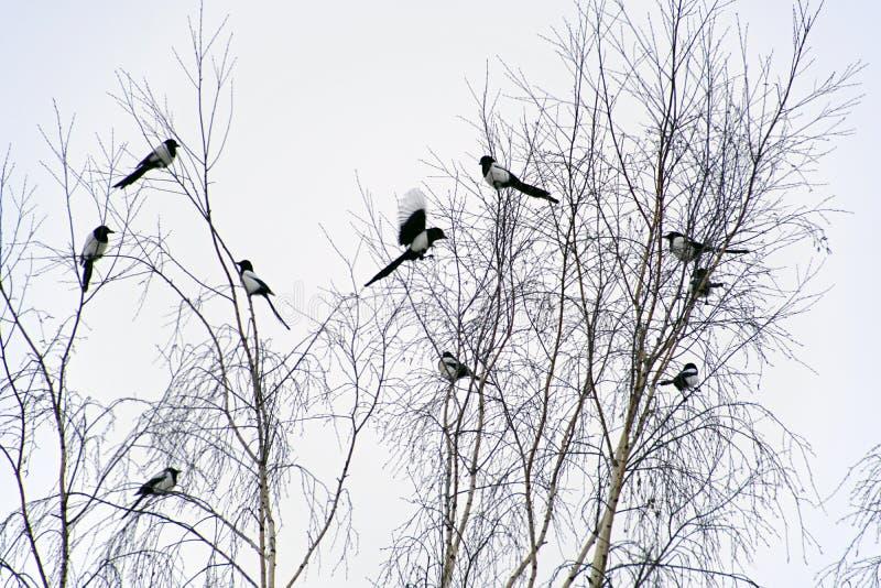 Ιανουάριος Χειμώνας Ένα κοπάδι των πουλιών στους κλάδους μιας σημύδας κίσσα Πουλί με το γραπτό φτέρωμα στοκ φωτογραφία με δικαίωμα ελεύθερης χρήσης