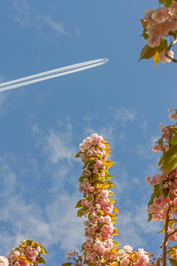Ιαπωνικά άνθη κερασιών με την καταδίωξη του αεροπλάνου στον ουρανό στοκ φωτογραφία με δικαίωμα ελεύθερης χρήσης