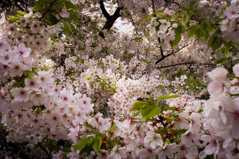 Ιαπωνικά άνθη κερασιών στοκ εικόνες
