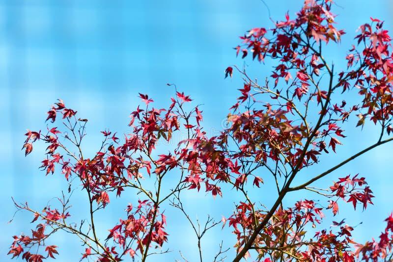 Ιαπωνικά κόκκινα φύλλα σφενδάμου ενάντια στον ουρανό, χρήση για το υπόβαθρο στις έννοιες φθινοπώρου της Ιαπωνίας Κινηματογράφηση  στοκ εικόνες