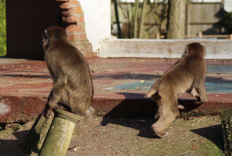 Ιαπωνικά macaques στην πόλη στοκ φωτογραφία με δικαίωμα ελεύθερης χρήσης
