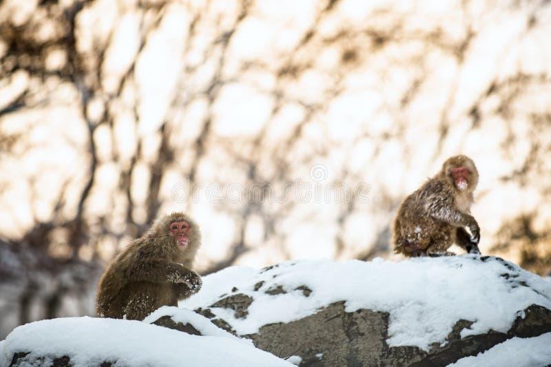 Ιαπωνικά macaques στο βράχο στο ηλιοβασίλεμα Φυσικός βιότοπος E στοκ φωτογραφίες