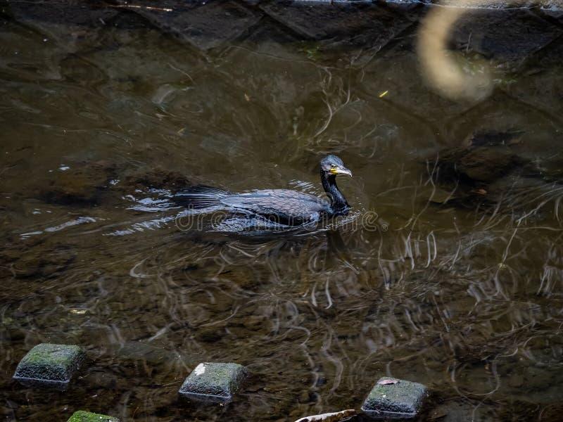 Ιαπωνικός κορμοράνος που κολυμπά μέσω ενός ιαπωνικού ποταμού στοκ φωτογραφίες