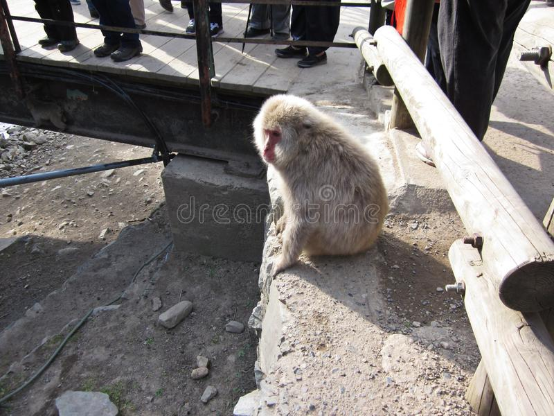 Ιαπωνικός πίθηκος macaque ή χιονιού στο καυτό ελατήριο Jigokudani στην Ιαπωνία στοκ εικόνες με δικαίωμα ελεύθερης χρήσης