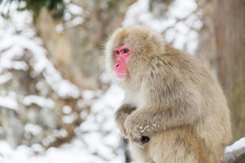 Ιαπωνικός πίθηκος macaque ή χιονιού στο jigokudan πάρκο στοκ εικόνα