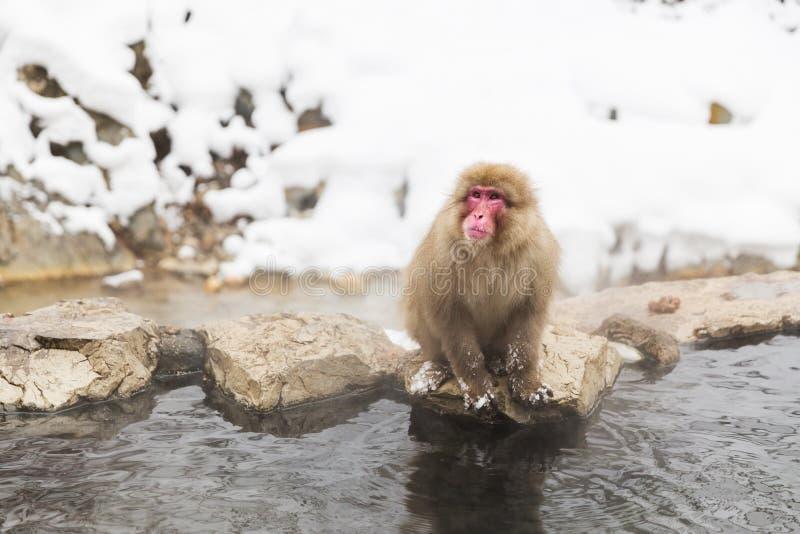 Ιαπωνικός πίθηκος macaque ή χιονιού την καυτή άνοιξη στοκ εικόνες με δικαίωμα ελεύθερης χρήσης