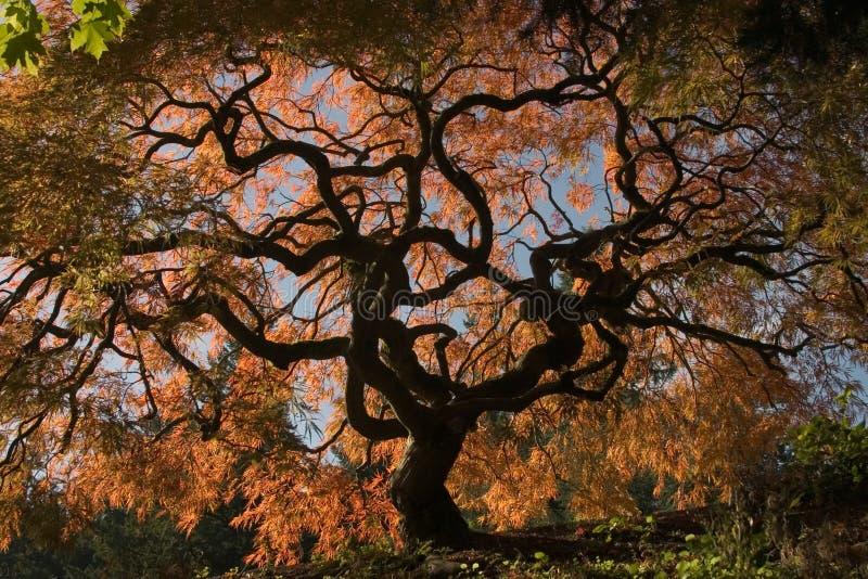 Download ιαπωνικός σφένδαμνος στοκ εικόνες. εικόνα από άκρο, σφένδαμνος - 100646