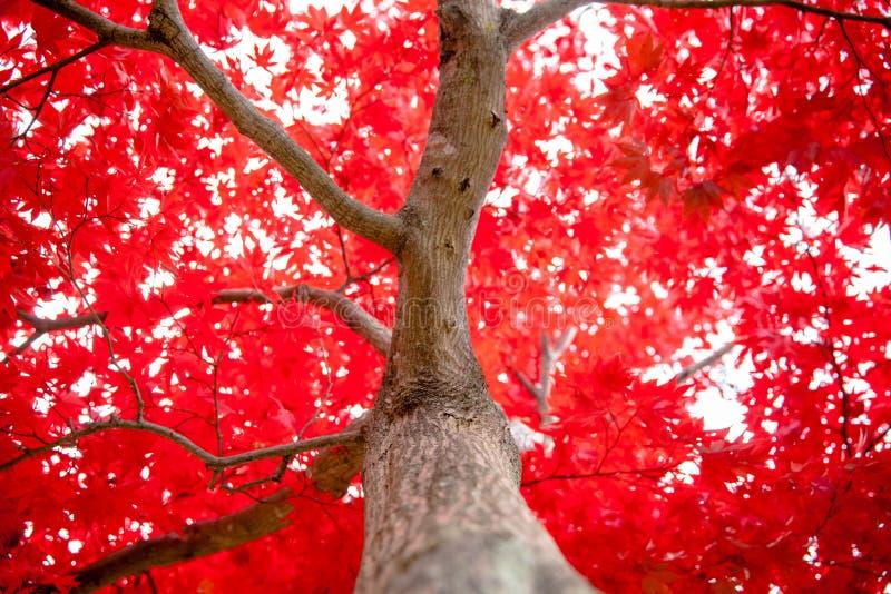 Ιαπωνικός σφένδαμνος κατά τη διάρκεια της πτώσης στον κήπο στοκ εικόνα