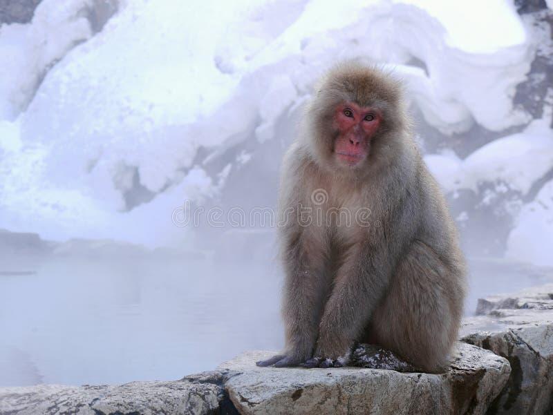 Ιαπωνικός hotspring πίθηκος στοκ εικόνα με δικαίωμα ελεύθερης χρήσης