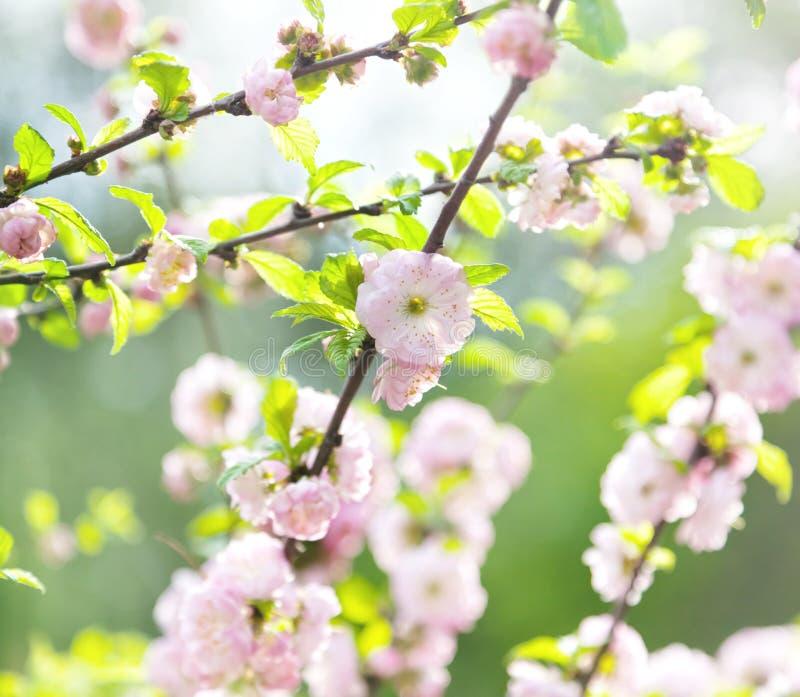 Ιαπωνικό άνθος κερασιών, άνθιση άνοιξη, στη μαλακή εστίαση στοκ εικόνες