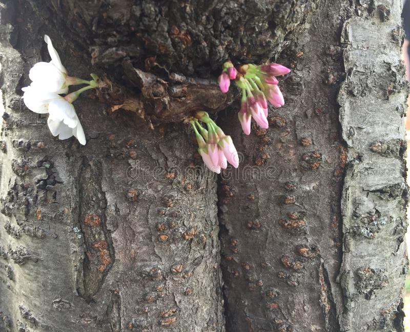 Ιαπωνικό άνθος κερασιών στο Washington DC και τη σύσταση κορμών δέντρων στοκ φωτογραφίες με δικαίωμα ελεύθερης χρήσης