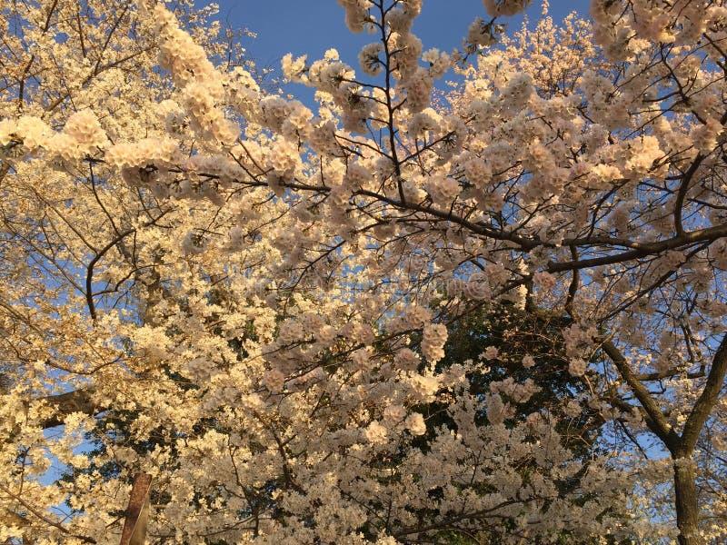 Ιαπωνικό άνθος κερασιών στο Washington DC στοκ εικόνες με δικαίωμα ελεύθερης χρήσης