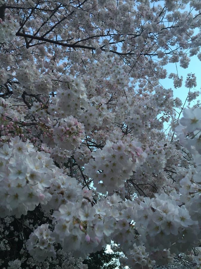 Ιαπωνικό άνθος κερασιών στο Washington DC στοκ φωτογραφία με δικαίωμα ελεύθερης χρήσης