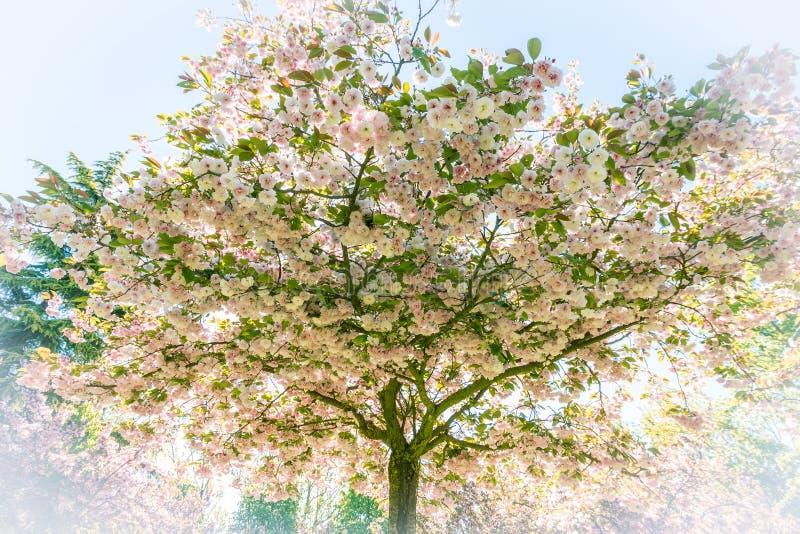 Ιαπωνικό δέντρο κερασιών με τα λουλούδια στοκ φωτογραφία με δικαίωμα ελεύθερης χρήσης