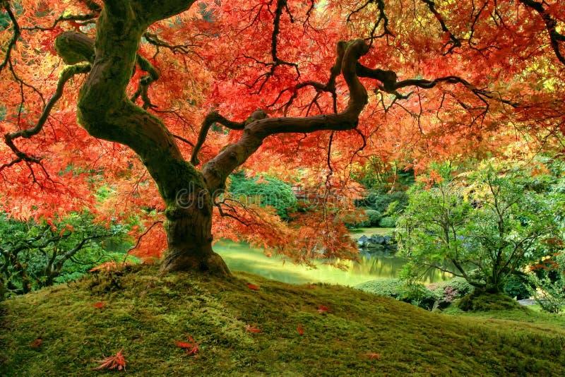 Ιαπωνικό δέντρο σφενδάμνου το φθινόπωρο στο mossy ανάχωμα στοκ εικόνα με δικαίωμα ελεύθερης χρήσης