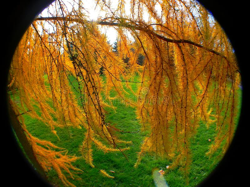 Ιαπωνικό κρεμώντας αγριόπευκο στα χρώματα φθινοπώρου με την οπτική fisheye στοκ φωτογραφίες με δικαίωμα ελεύθερης χρήσης