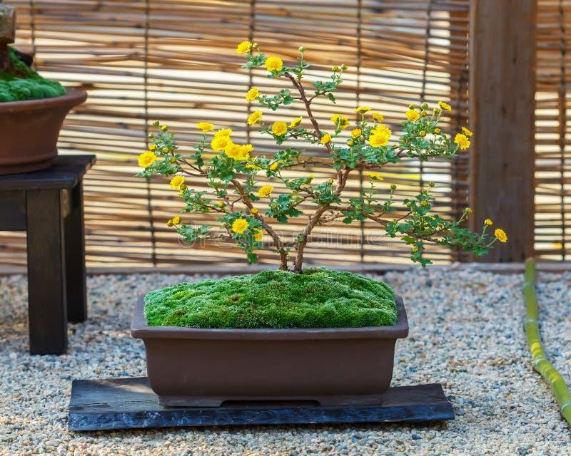 Ιαπωνικό μικρό δέντρο μπονσάι στοκ εικόνες με δικαίωμα ελεύθερης χρήσης