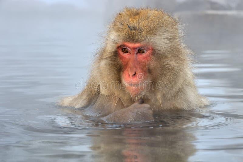 Ιαπωνικό Macaque στοκ φωτογραφίες με δικαίωμα ελεύθερης χρήσης