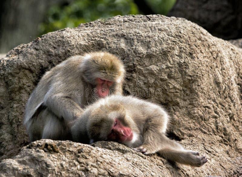 Ιαπωνικό Macaques στοκ εικόνες με δικαίωμα ελεύθερης χρήσης