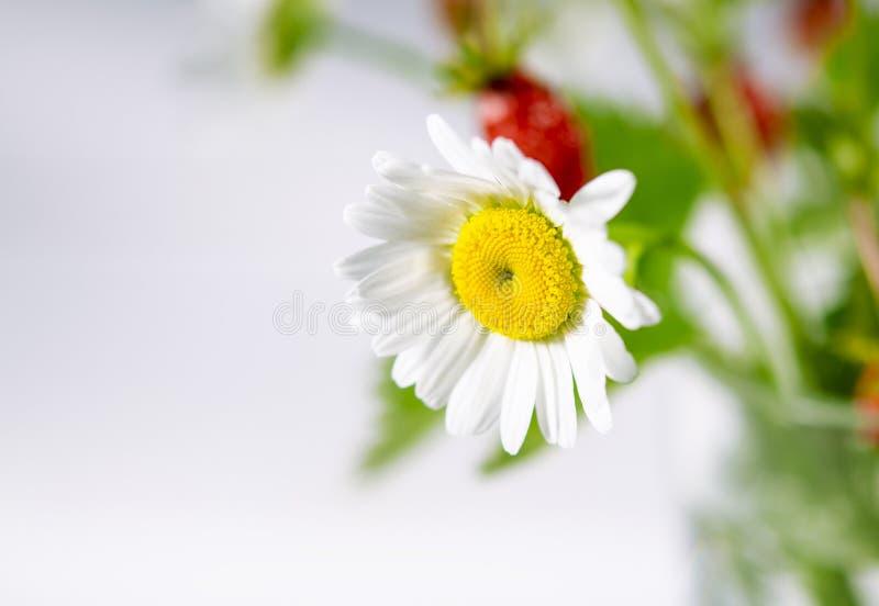 Ιατρικά χορτάρια: Η άσπρη μαργαρίτα τομέων με τα πράσινα φύλλα αυξάνεται υπαίθρια στοκ φωτογραφία με δικαίωμα ελεύθερης χρήσης