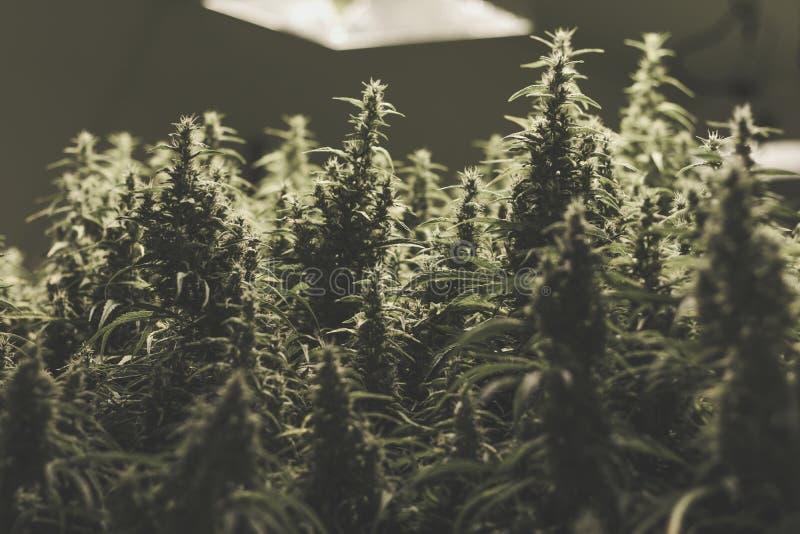 Ιατρικές εγκαταστάσεις μαριχουάνα στοκ εικόνα