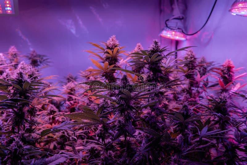 Ιατρικές πιέσεις μαριχουάνα με τα υψηλού επιπέδου στοιχεία THC CBD Η κινηματογράφηση σε πρώτο πλάνο που ανθίζει βλαστάνει λεπτομε στοκ φωτογραφία με δικαίωμα ελεύθερης χρήσης