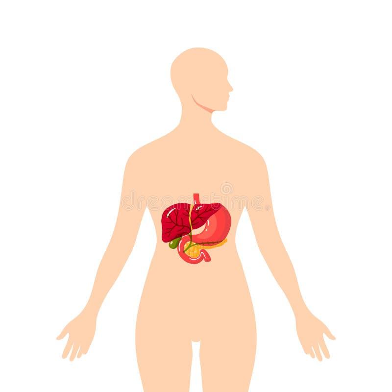 Ιατρική απεικόνιση του χολικού πόρου, διάνυσμα απεικόνιση αποθεμάτων