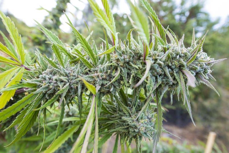 Ιατρική μαριχουάνα Καλιφόρνιας στοκ φωτογραφίες