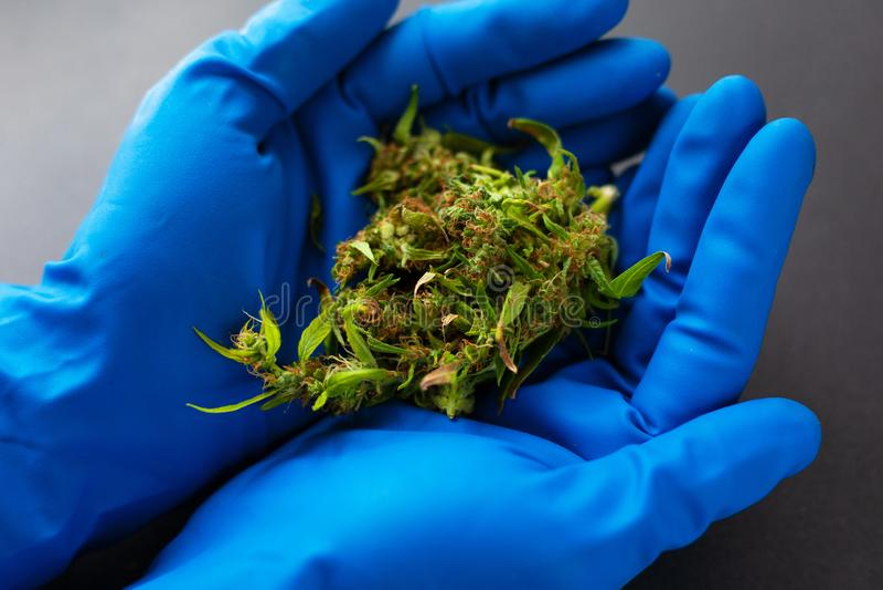 Ιατρική μαριχουάνα στα χέρια ενός γιατρού στα μπλε ιατρικά γάντια οφθαλμοί καννάβεων στα χέρια ενός ιατρού παθολόγου στοκ φωτογραφίες