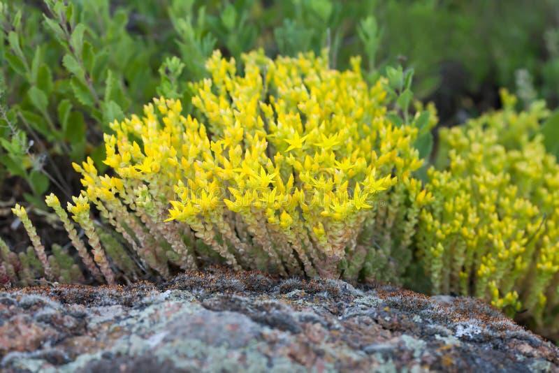 Ιατρικό στρέμμα sedum χορταριών, goldmoss mossy stonecrop Κίτρινες σχηματισμένες τούφες λουλούδια αιώνιες εγκαταστάσεις στην οικο στοκ φωτογραφίες